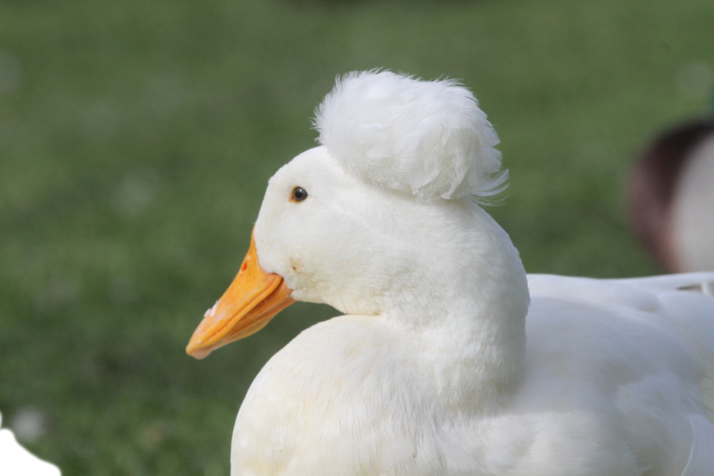 pics photos duck - photo #37